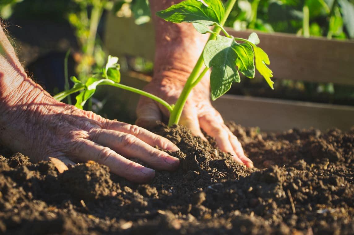 Semer Tomates Mai Jardin
