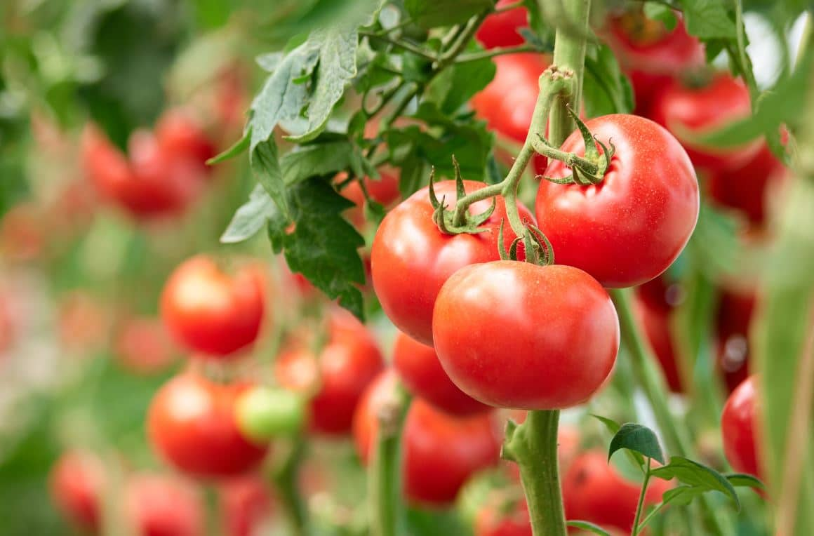 Tomates Jardinage Mai