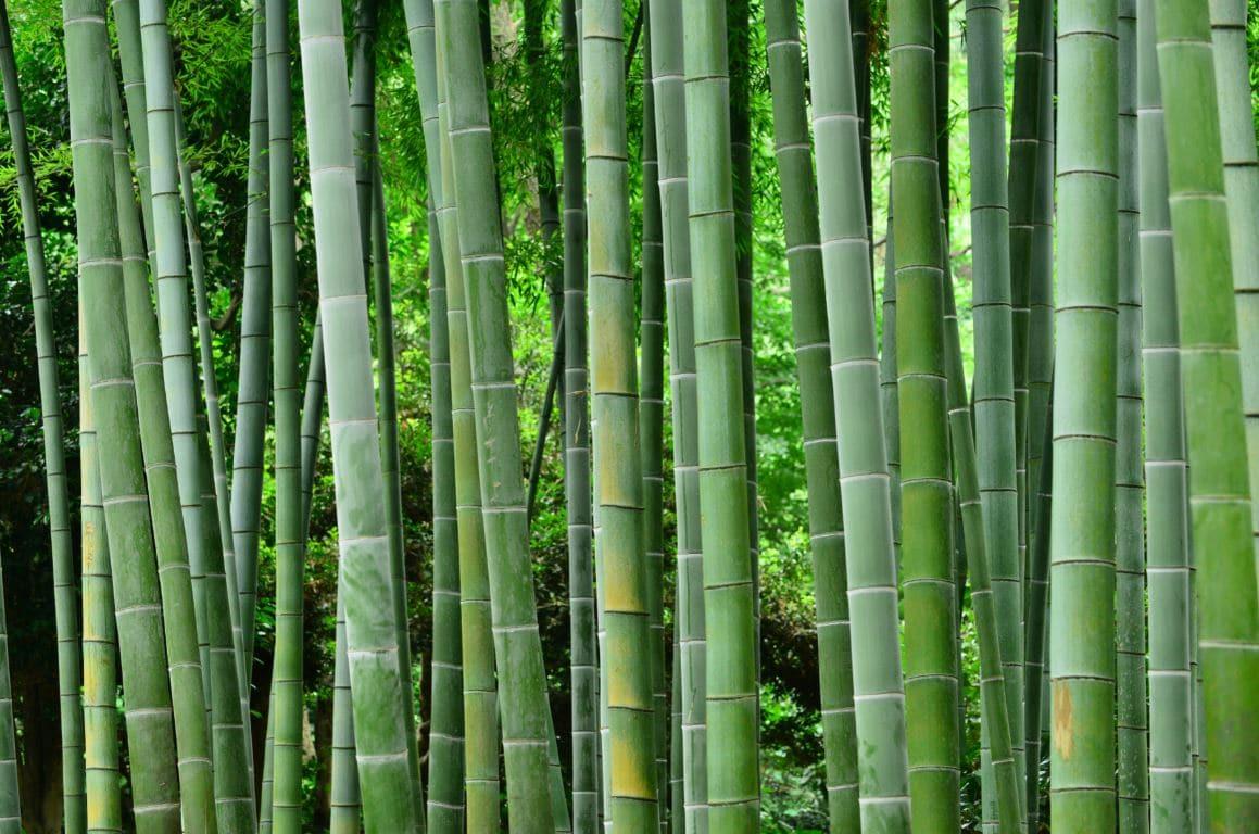 Haie Bambous