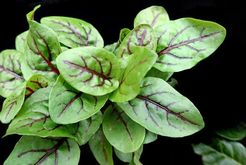 Oseille Plante