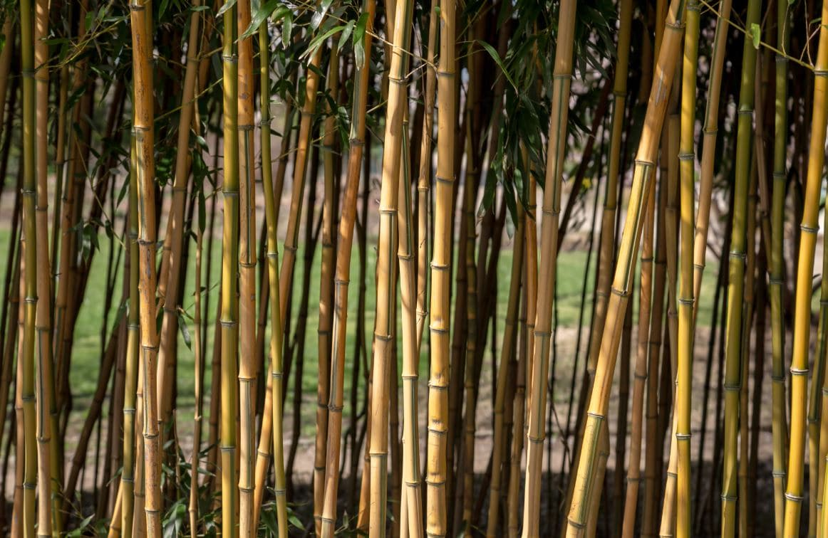 Planter Haie Bambous