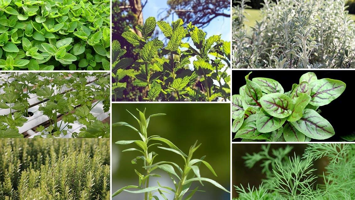 Plantes Herbes Aromatiques