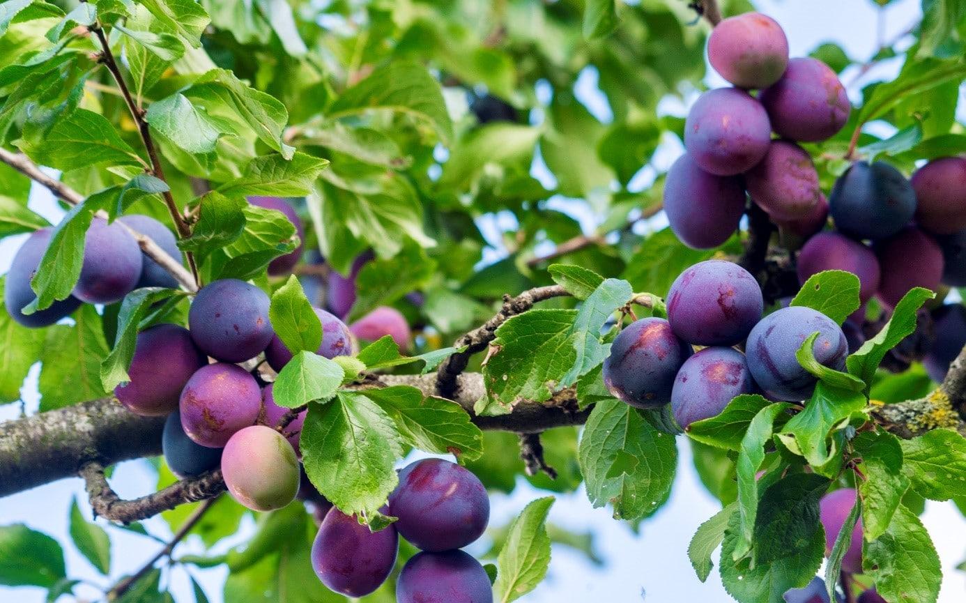 Arbre Fruitier Mitoyen