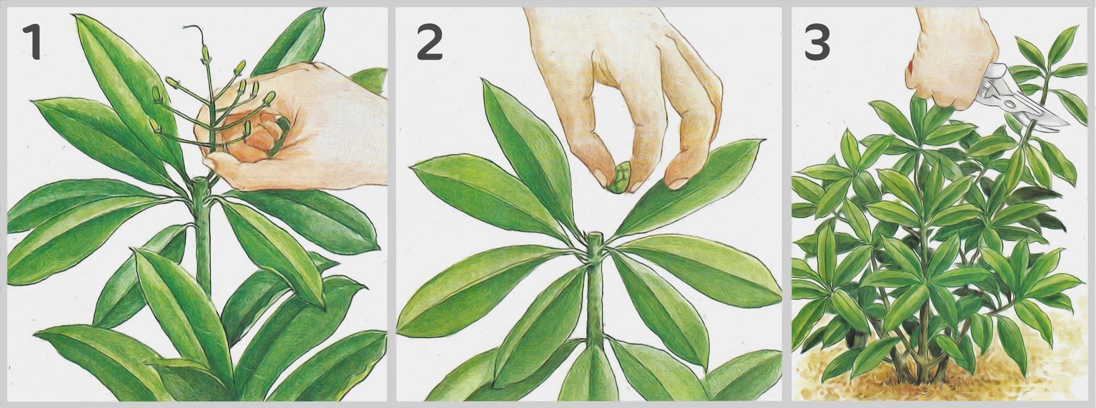 Etape Entretien Rhododendron