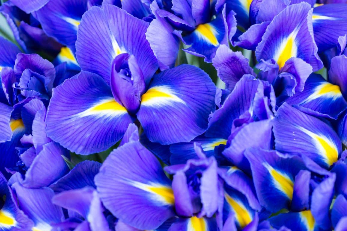 Fleur Iris Bleu Variete