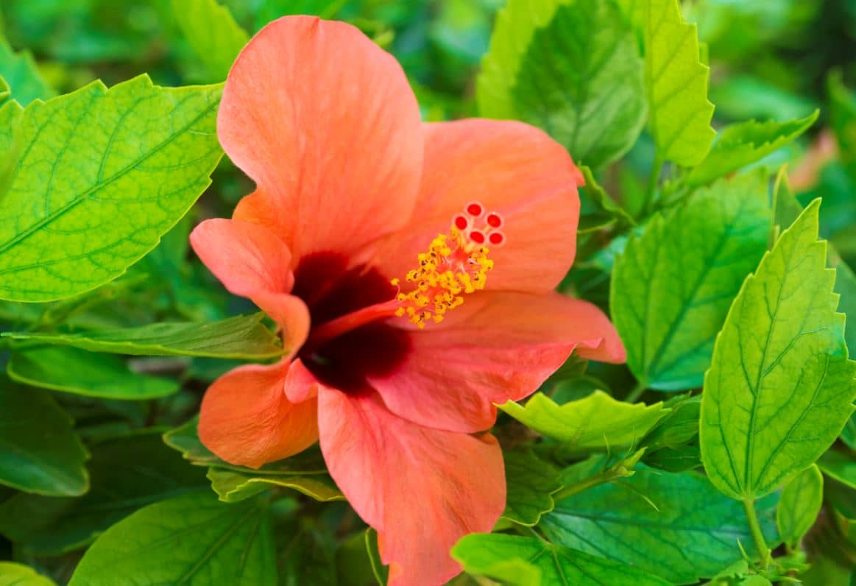 Hibiscus Bouturer