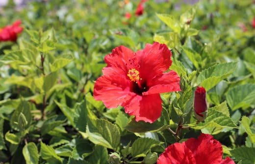 Hibiscus Fleur Rouge