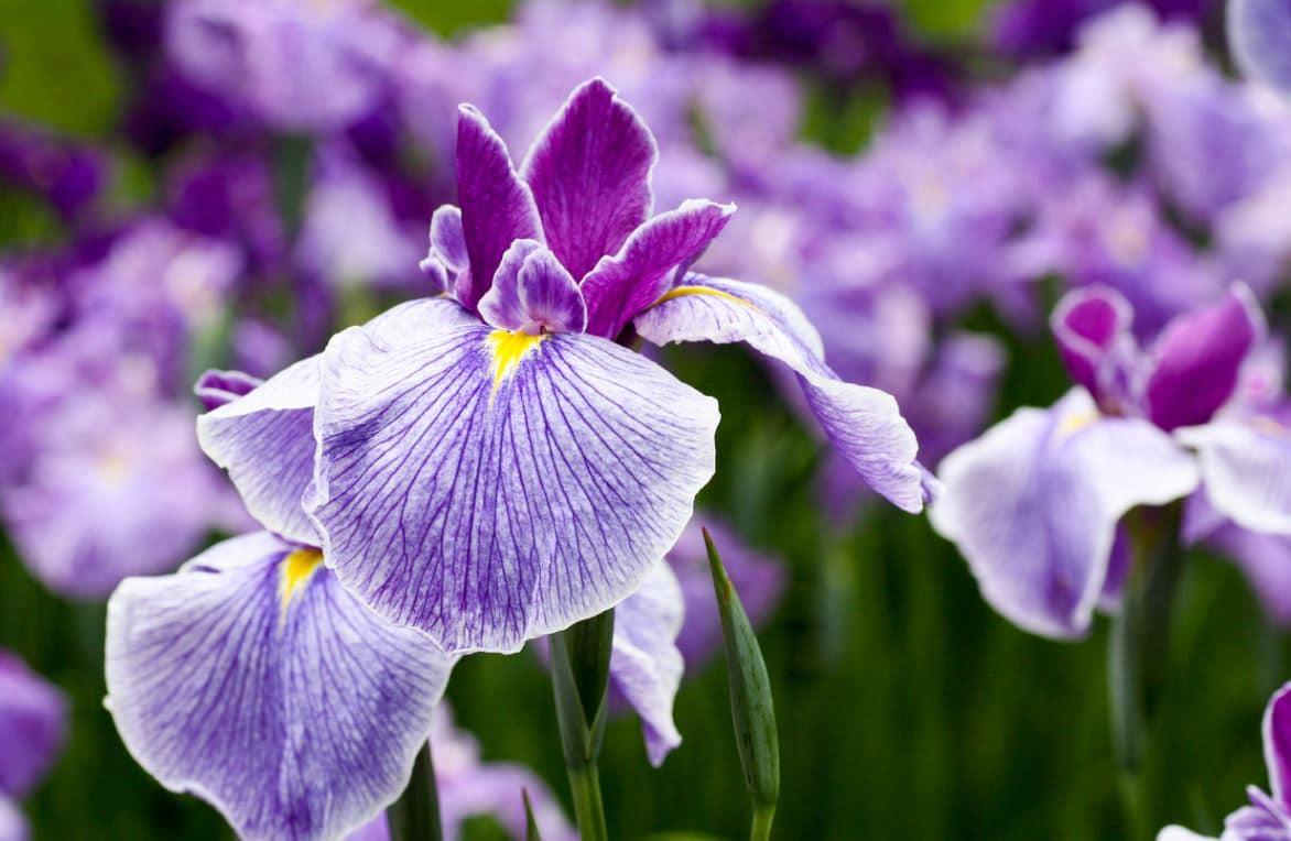 Iris Entretien Et Division
