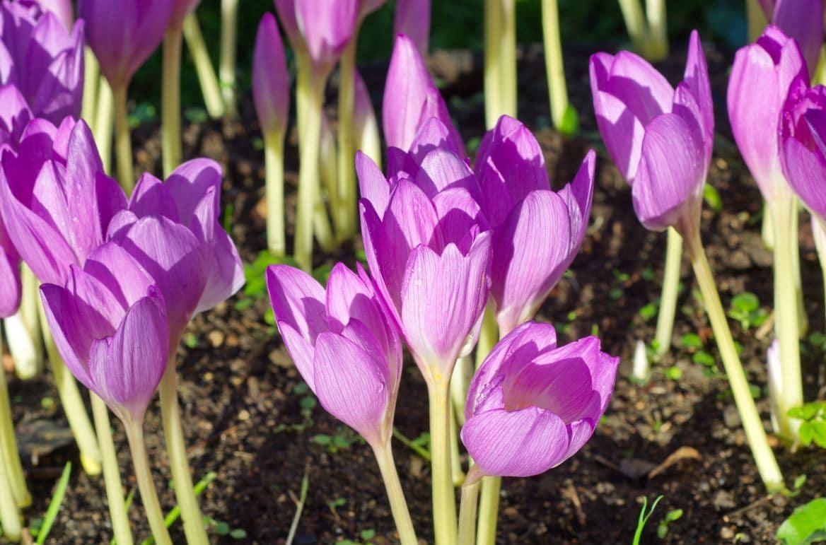 Planter Colchiques Jardin