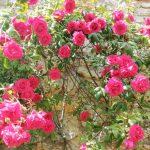 Rosiers Grimpants Jardin