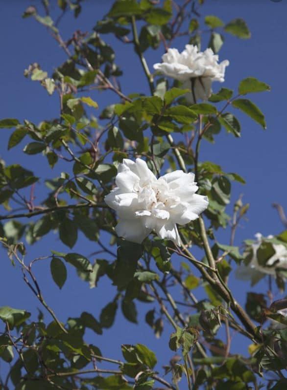 Rosiers Lianes Blanc