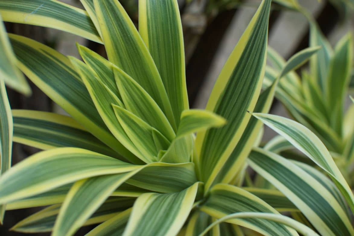 Dracanea Plante Dépolluante