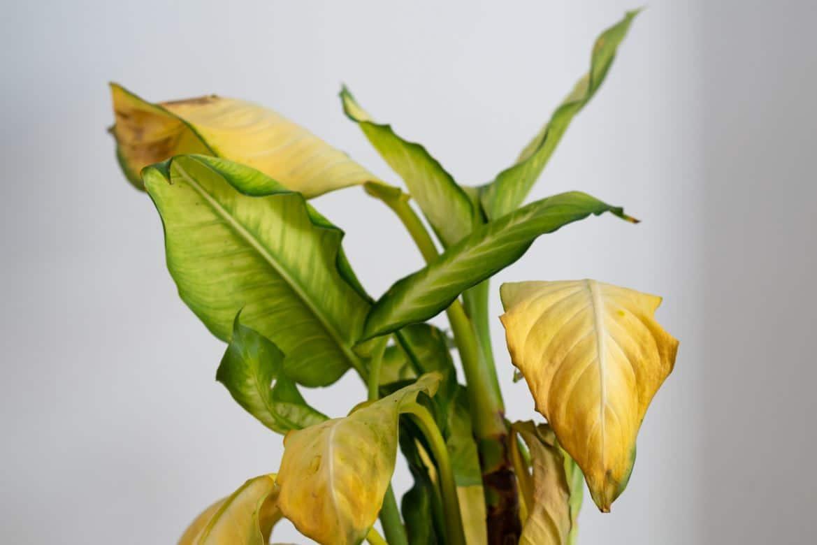Plante Intérieur Malade