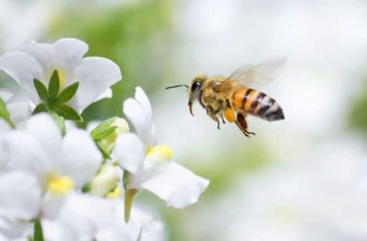 Abeille Insecte Pollinisateur