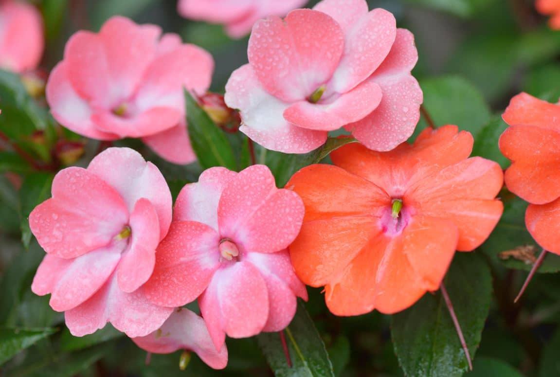 Impatiens Fleurs