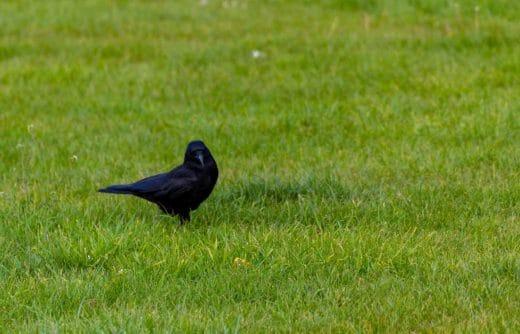Corbeau Dans Le Jardin