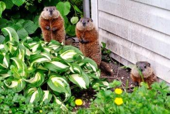 Marmottes Potager