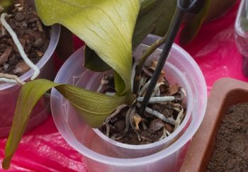 Orchidée Fanée