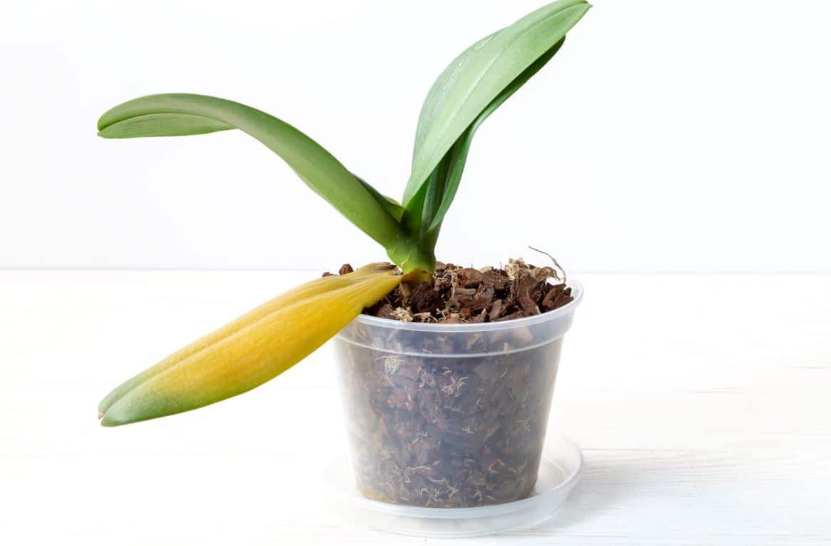 Orchidée Qui Jaunit
