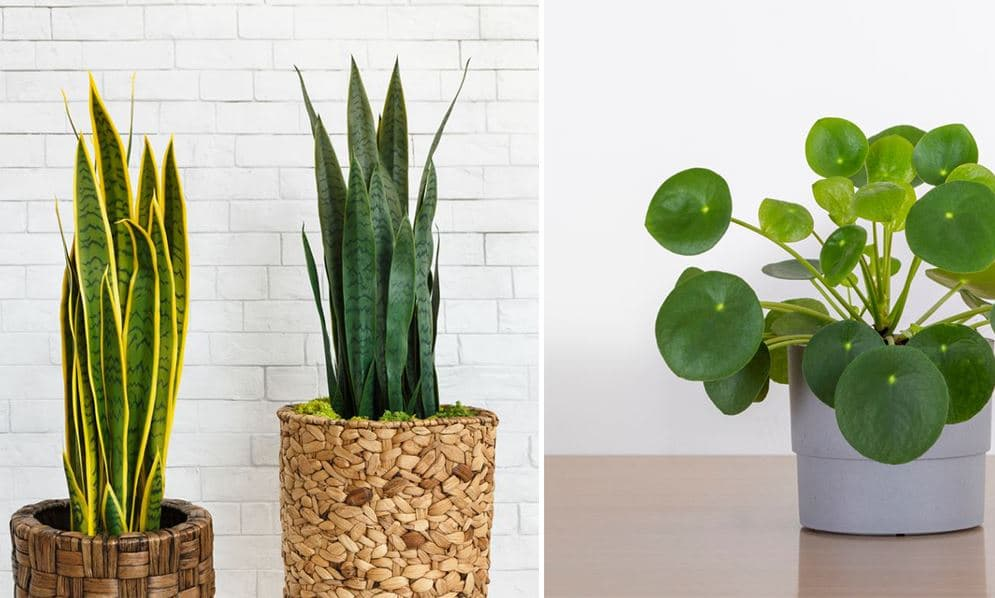 Plantes Intérieur Faciles Entretien