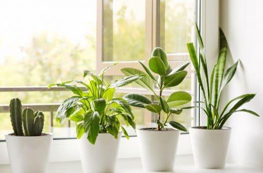 Plantes Qui Absordent L'humidité Ficus Cactus
