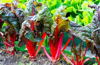 Plants De Rhubarbe